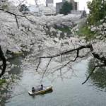 桜への郷愁